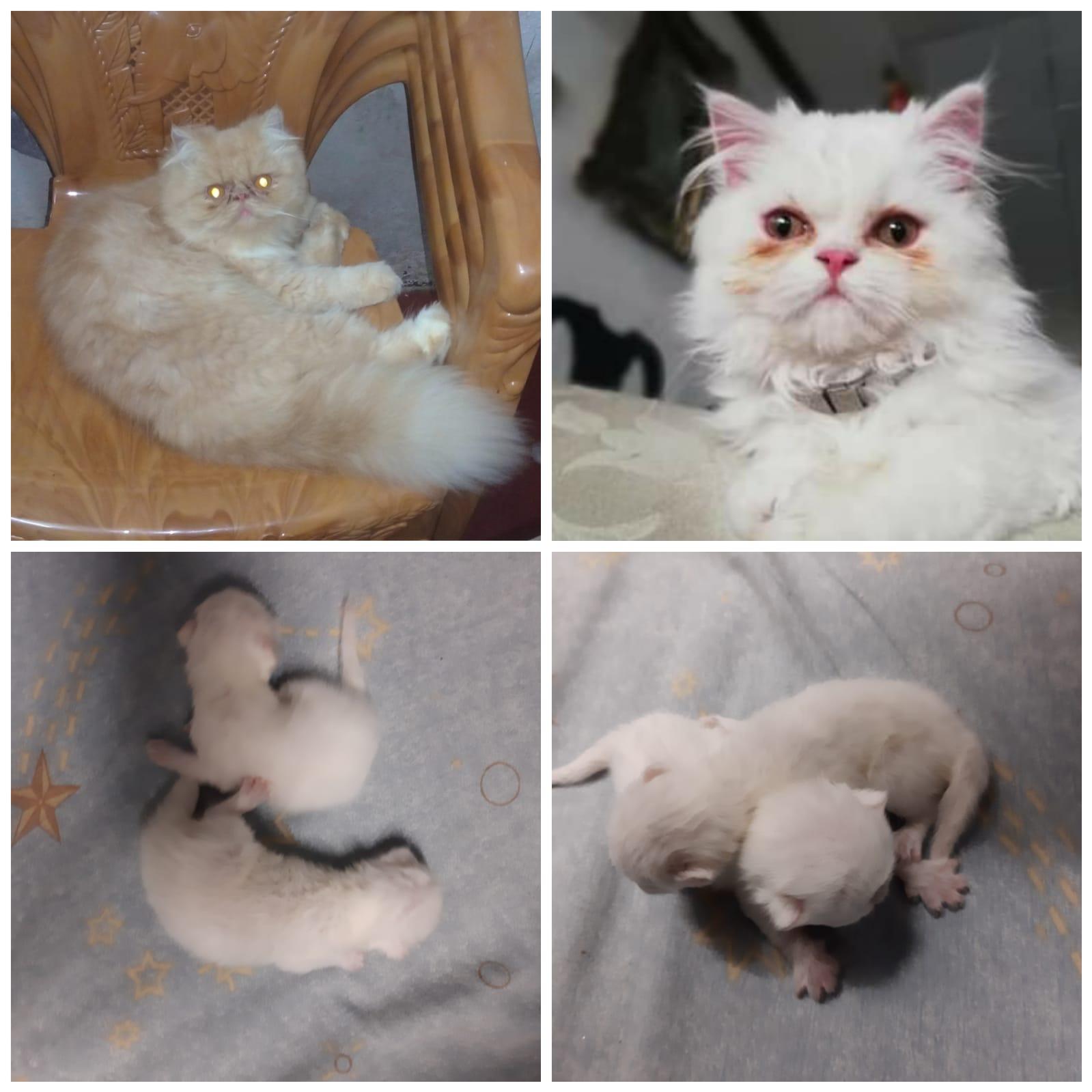 Gatos persa blancos en venta